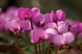 Картинка цветы, нежность, розовые, первоцвет, цикломен, весенний цветок