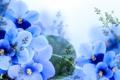 Картинка Light, Blue, Синие, фиалки, Violets
