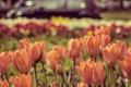Картинка цветы, город, тюльпаны