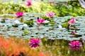 Картинка вода, цветы, озеро, водяные лилии, water, flowers, lake