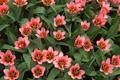 Картинка тюльпаны, розовые, плантация