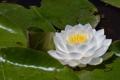 Картинка листья, нимфея, водяная лилия