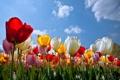 Картинка облака, цветы, тюльпаны