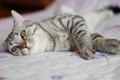 Картинка cat, bed, pose