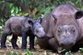 Картинка Суматранский носорог, фон, rhino, взрослый, детёныш