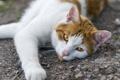 Картинка кошка, кот, взгляд, ©Tambako The Jaguar