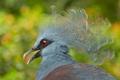 Картинка птица, перья, клюв, экзотика, венценосный голубь