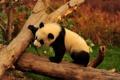 Картинка деревья, ветки, животное, медведь, панда
