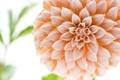Картинка цветок, макро, георгин