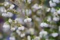 Картинка цветы, белые, мелкие, вереск