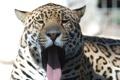 Картинка язык, кошка, морда, ягуар, зевает