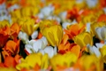 Картинка поле, весна, лепестки, луг, тюльпаны
