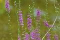 Картинка макро, цветы, размытость, розовые, полевые, Lythrum salicaria