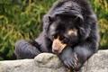 Картинка глаза, шерсть, Медведь, черный, лежит, взгляд