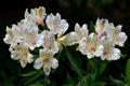 Картинка цветение, стволы, Альстромерия, белая, лепестки