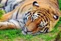 Картинка морда, Тигр, отдых, полоски, лежит, усы