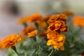 Картинка цветы, оранжевые, цветение, Бархатцы