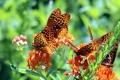 Картинка макро, бабочки, цветы, Перламутровка красная, Перламутровка адиппа