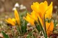 Картинка трава, цветы, желтые, крокусы, бутоны
