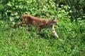Картинка кошка, трава, клевер, профиль, рысь