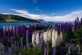 Картинка цветы, горы, озеро, разноцветные, люпины