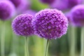 Картинка макро, цветы, flower, purple, symphony, branch