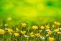 Картинка трава, фон, ромашки, Цветы, желтые, размытость