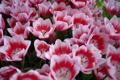 Картинка тюльпаны, бело-розовы, много, цветы