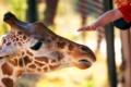 Картинка зоопарк, жирафа, рука, лето