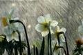 Картинка лето, капли, макро, цветы, дождь, белые, нарциссы