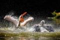 Картинка вода, птицы, пеликаны