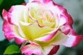 Картинка роза, лепестки, макро, бутон