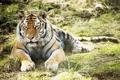 Картинка тигр, трава, лежит