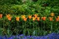 Картинка тюльпаны, анютины глазки, виола