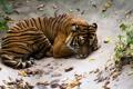 Картинка полоски, тигр, отдых, сон, хищник, лежит, дикая кошка