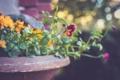 Картинка цветок, земля, растение, лепестки, анютины глазки