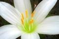 Картинка цветок, лилия, лепестки, тычинки