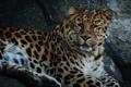 Картинка дикая кошка, морда, хищник, амурский леопард