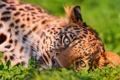 Картинка трава, Леопард, хищник, большая кошка
