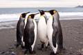 Картинка Антарктида, императорские, пингвины