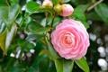 Картинка цветок, розовая, лепестки, камелия