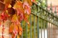 Картинка листья, забор, ограда, красные, осенние, плетущееся, рстение