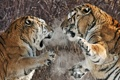 Картинка тигры, схватка, агрессия
