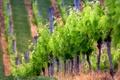 Картинка природа, фото, холмы, обои, растения, виноградники, плантация