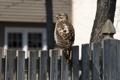 Картинка птица, забор, ястреб