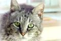 Картинка кошка, кот, взгляд, серый, портрет, размытость