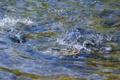 Картинка волны, вода, брызги, ручей, рыба, радужная форель
