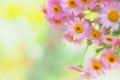 Картинка маргаритки, фон, розовые, размытость