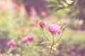 Картинка цветок, розовая, роза, лепестки, бутон