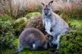 Картинка мох, кенгуру, детёныш
